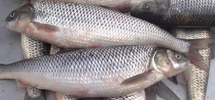 صادرات ماهی سفید شمال به روسیه