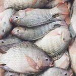بازار خرید ماهی شمال بدون تیغ