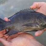 تولیدی ماهی تیلاپیا شمال ایران
