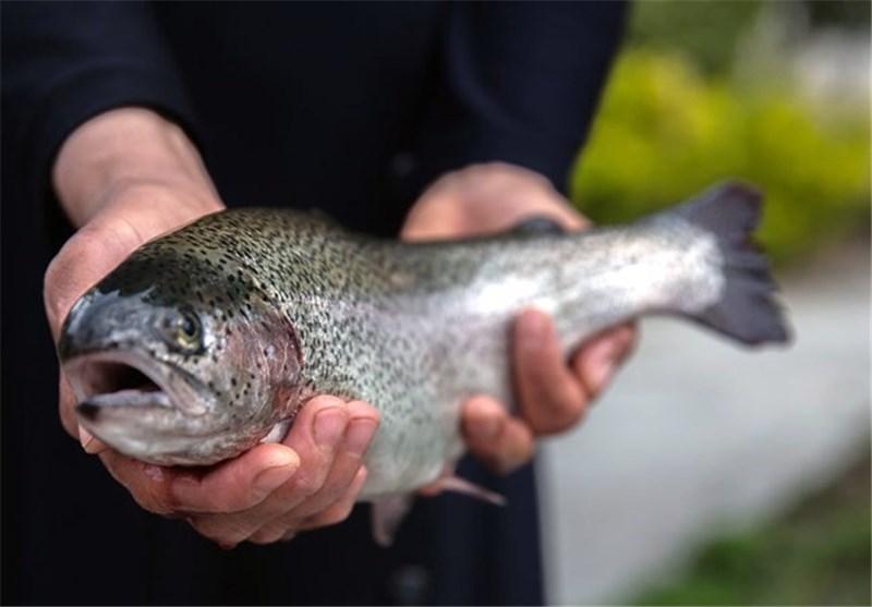 خریدار ماهی قزل شمال بدون تیغ