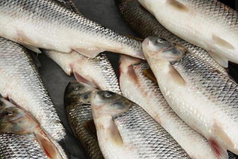 صادرات ماهی آزاد شمال ارزان