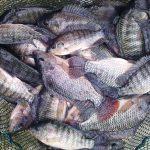 مراکز ماهی تیلاپیا شمال کشور